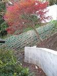 施工現場の紅葉、、もみじ、モミジ。